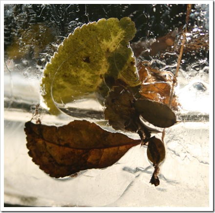Leaves. in ice
