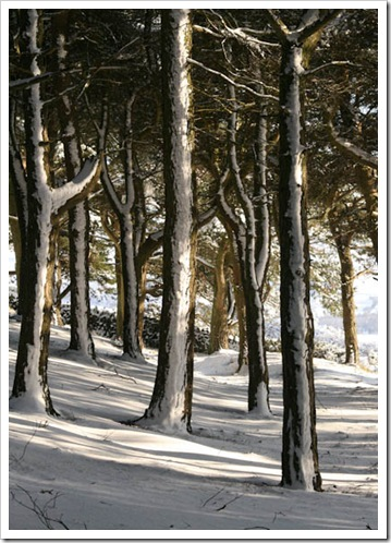 trees and snow-2