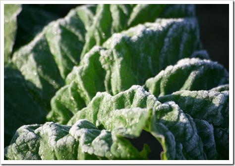 Frost rhubarb -2