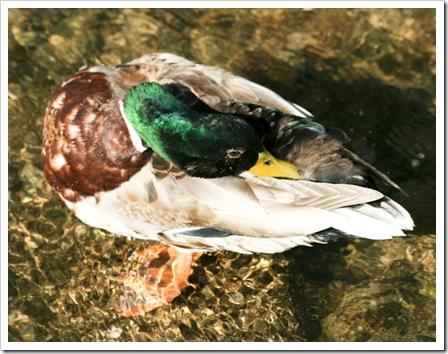 preening duck-2