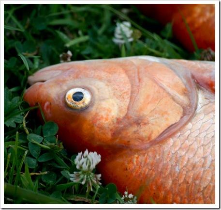 Dead fish-2