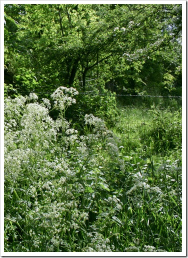 cow parsley  1-1