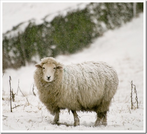 cold nose sheep-1