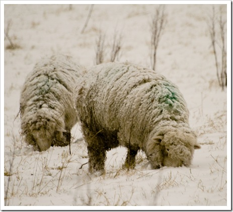 snow covered sheep -1