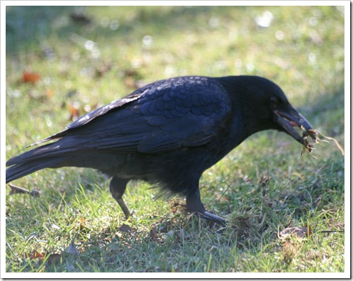 Black bird and shadows 4-1