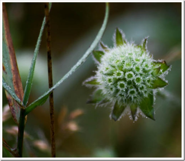 scabious_