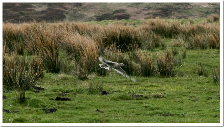 Curlew_